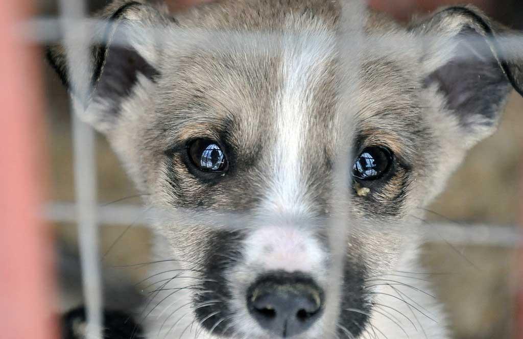 вольєрний кашель профілактика вінниця собака