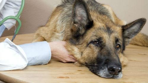 кашель розплідників у собак 2 клініка