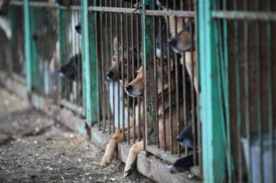 кашель розплідників у собак
