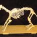 Скелет собаки: строение черепа, позвоночника, конечностей