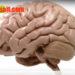 Строение головного мозга животных и мозговые оболочки